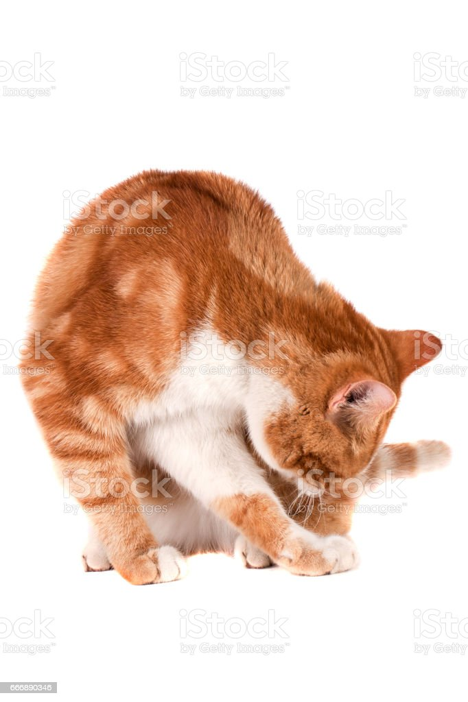 Red cat sitting and licking isolated on white background stock photo
