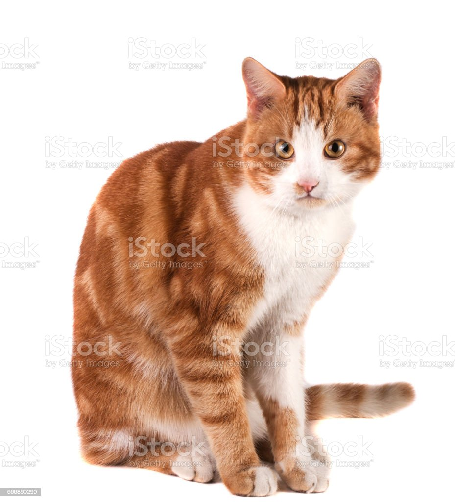 red cat sitting isolated on white background stock photo