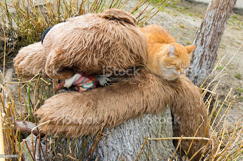 Red cat sleeping on an Teddy bear stock photo