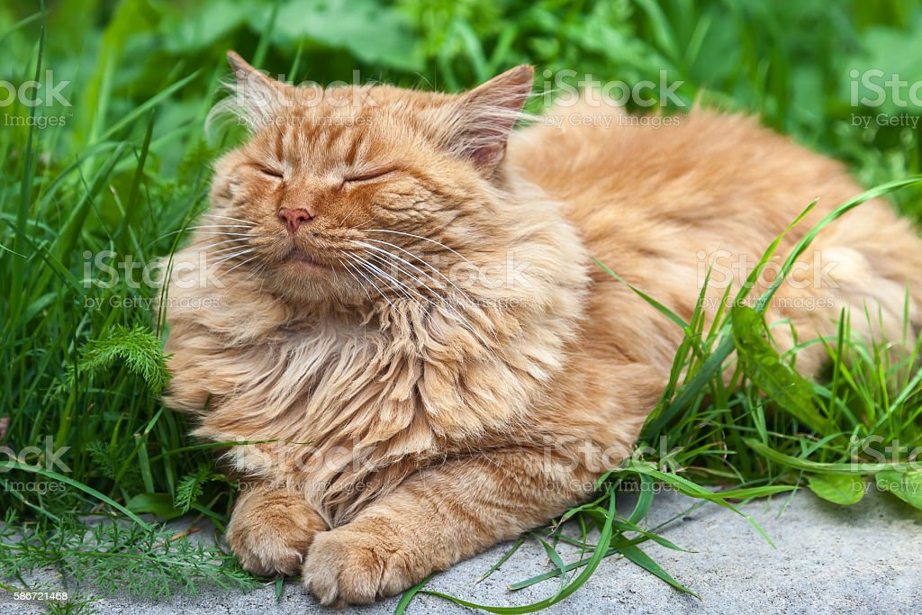 Red cat sleeps in the grass stock photo