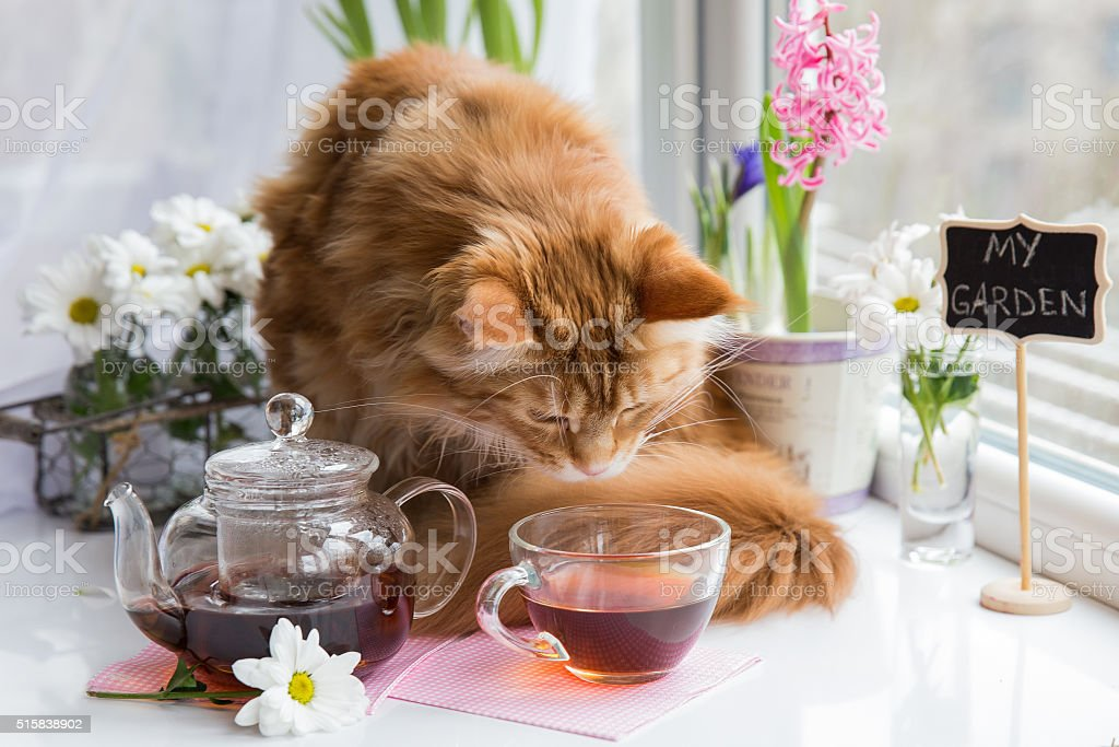 red cat sniffing  mug of tea while standing on a stock photo