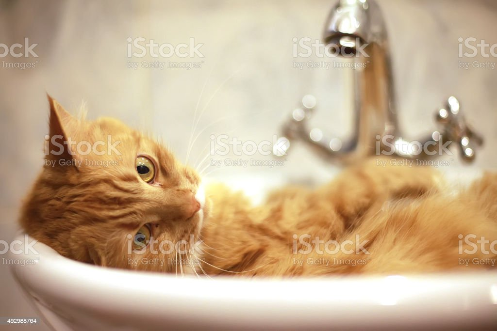 Red cat taking a bath stock photo