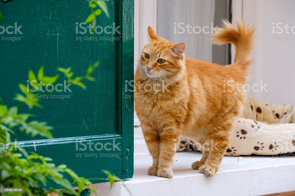 Red cat walking portrait stock photo