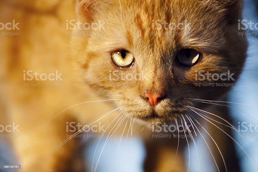 red cat watches stock photo
