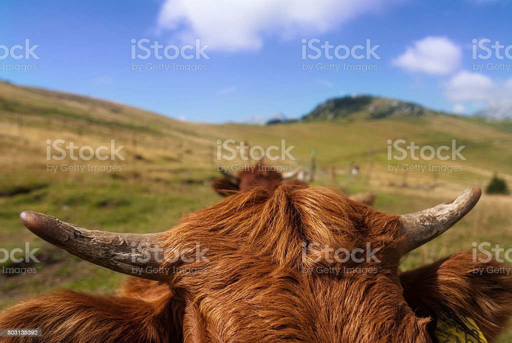 Red cattle stock photo
