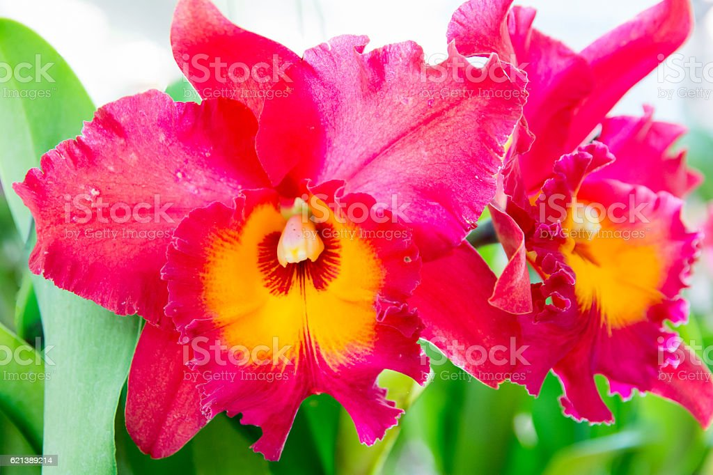 Red Cattleya orchid. stock photo