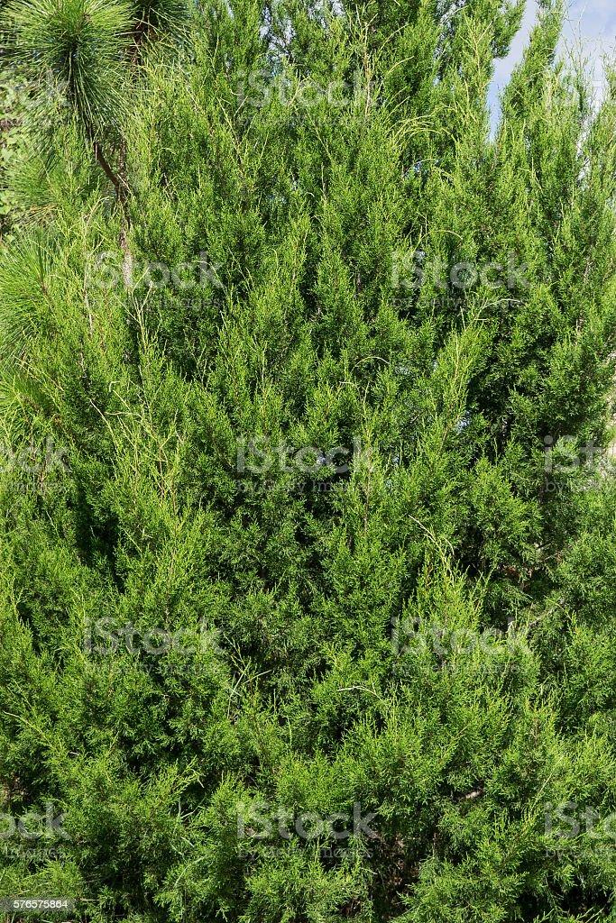 Red Cedar stock photo