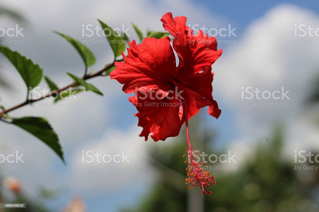 Red chaba stock photo