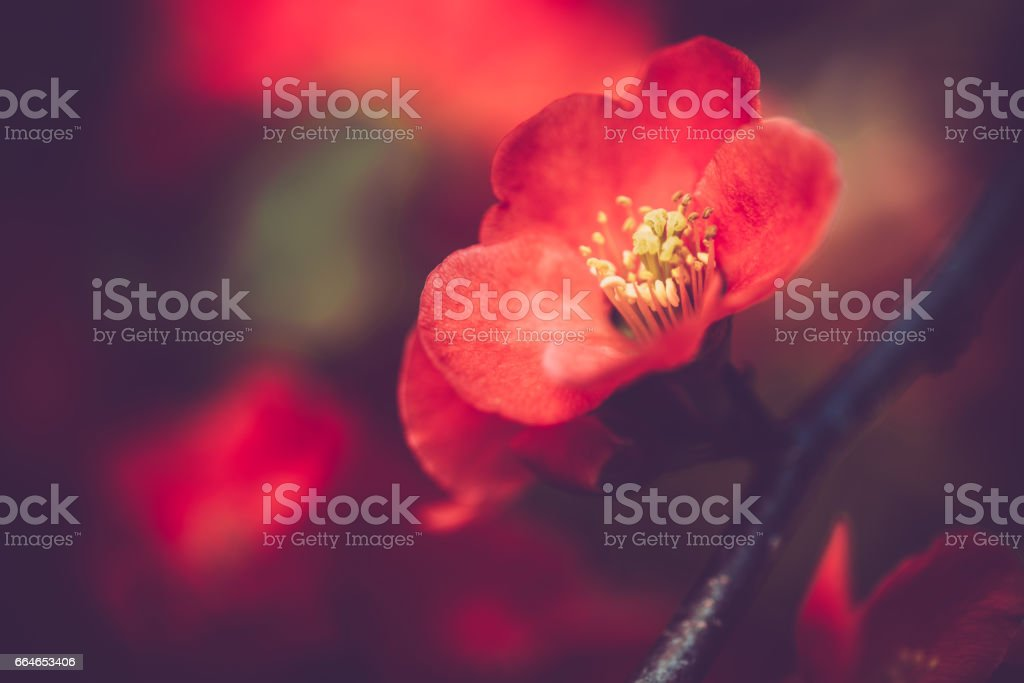 Red Chaenomeles Flower - Close Up stock photo