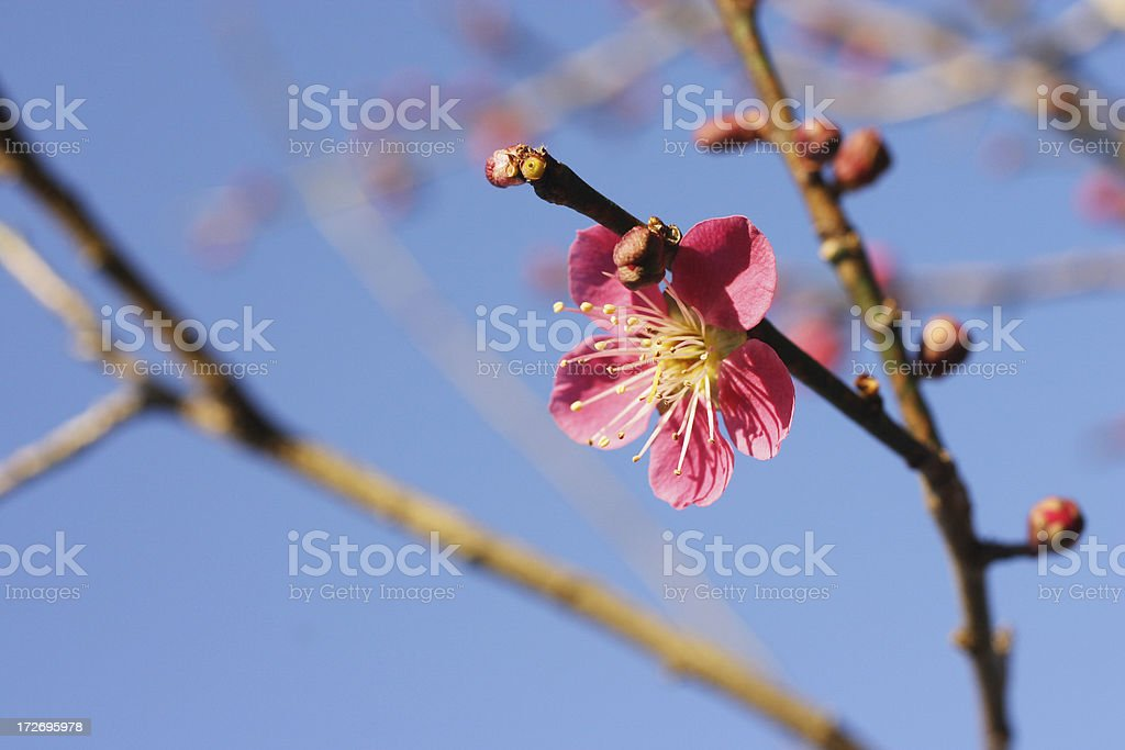 Red cherry blossom - Prunus mume or Japanese apricot stock photo