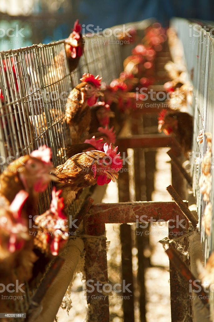red chickens stock photo