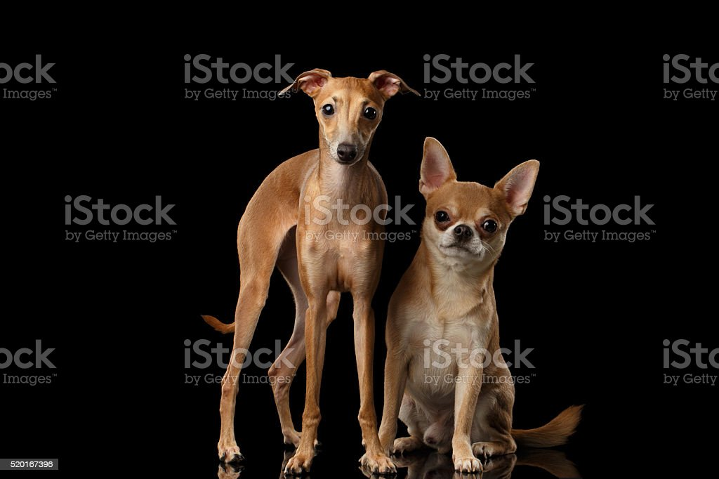 Red Chihuahua and Italian Greyhound Dogs Sitting isolated Black backgrond stock photo