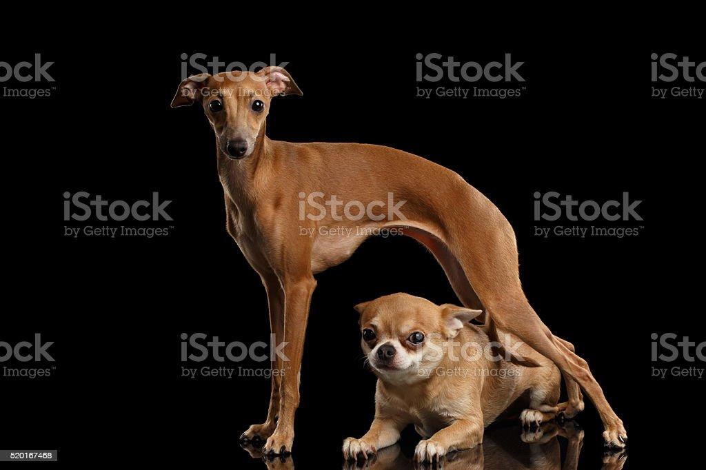 Red Chihuahua dog Lying under Standing Italian Greyhound isolated Black stock photo