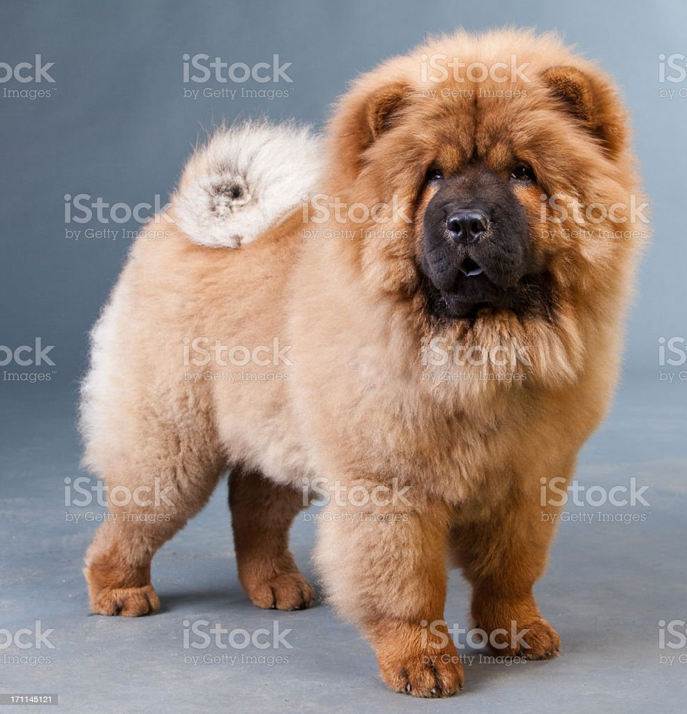 red chow-chow stock photo