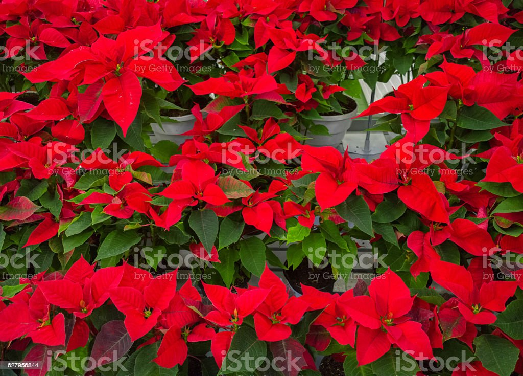 Red christmas flower poinsettia. stock photo