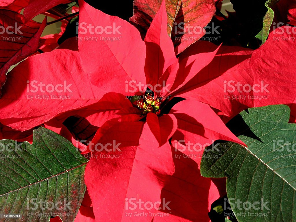 Red Christmas poinsettia 3 royalty-free stock photo
