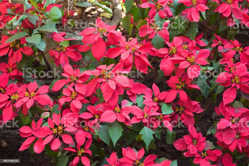 Red Christmas poinsettia flowers in garden stock photo