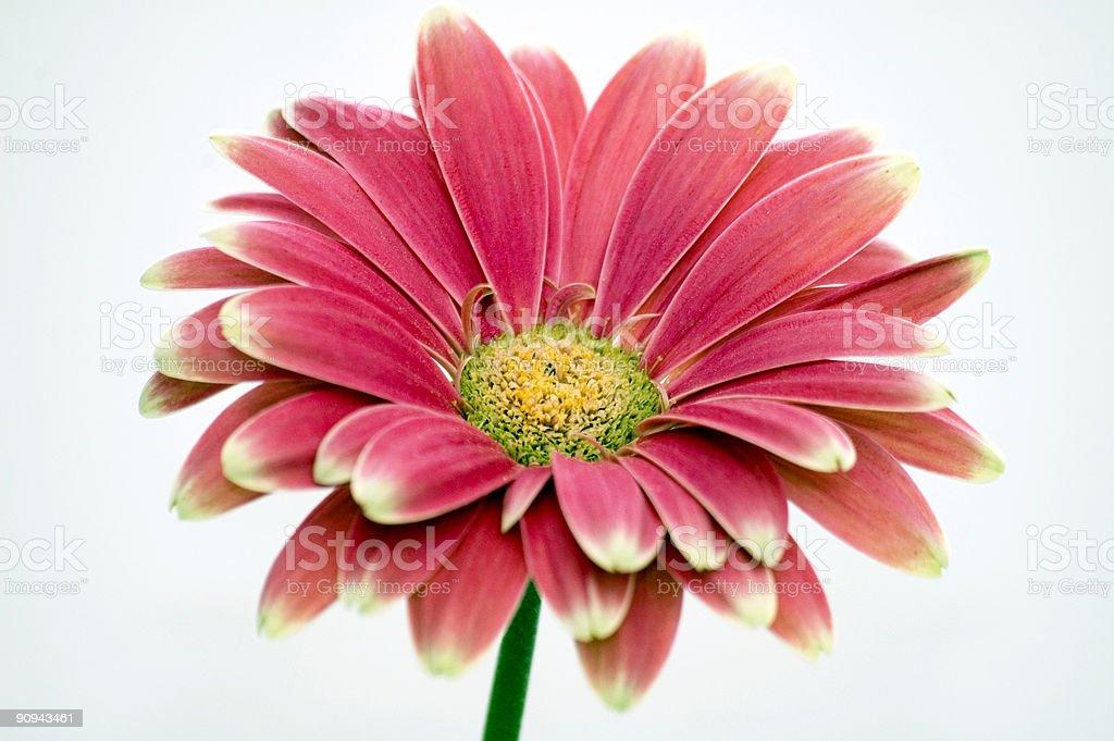 Red Chrysanthemum royalty-free stock photo
