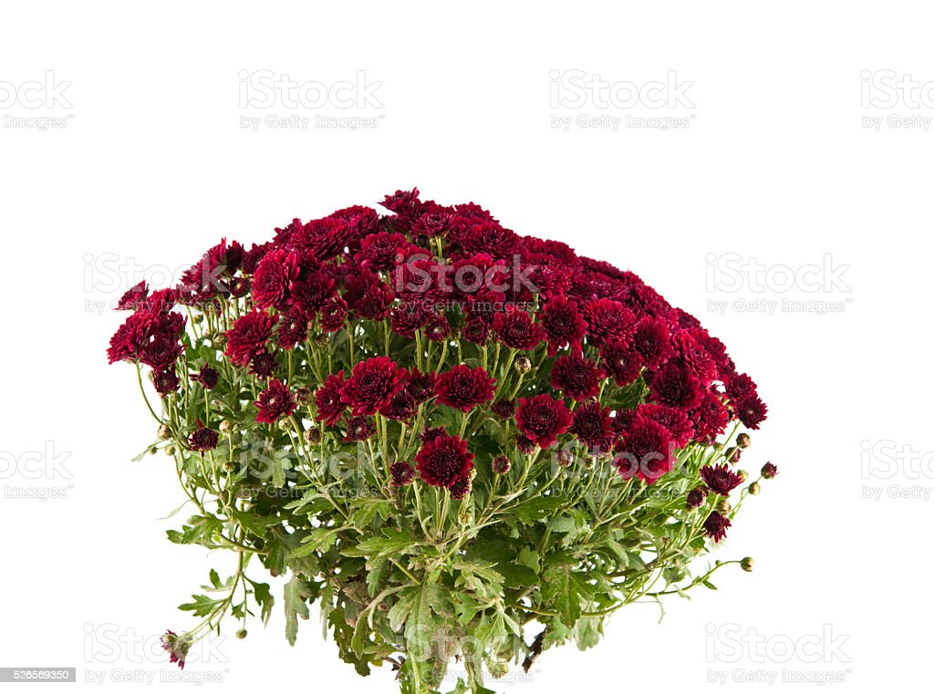 red chrysanthemums isolated stock photo