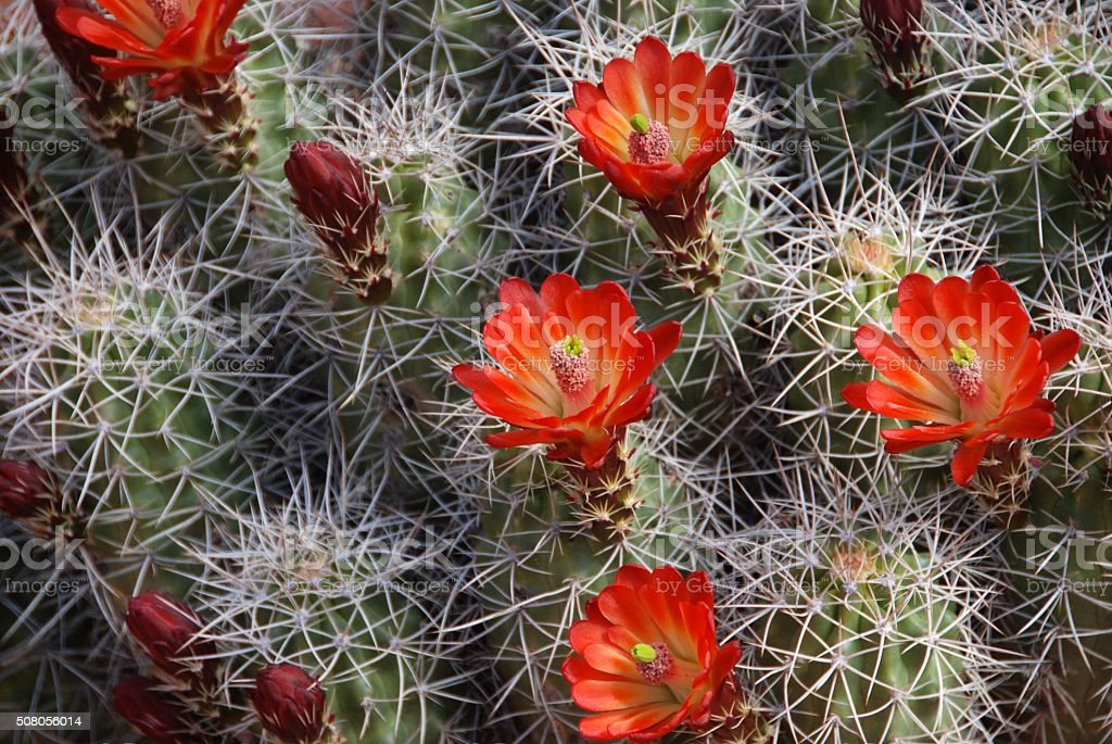 Red Claret Cup Flower On Cactus stock photo