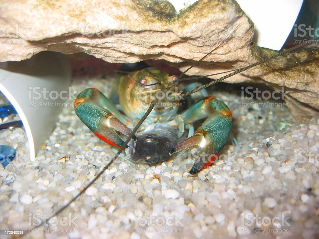 Red claw yabby eating a fish stock photo