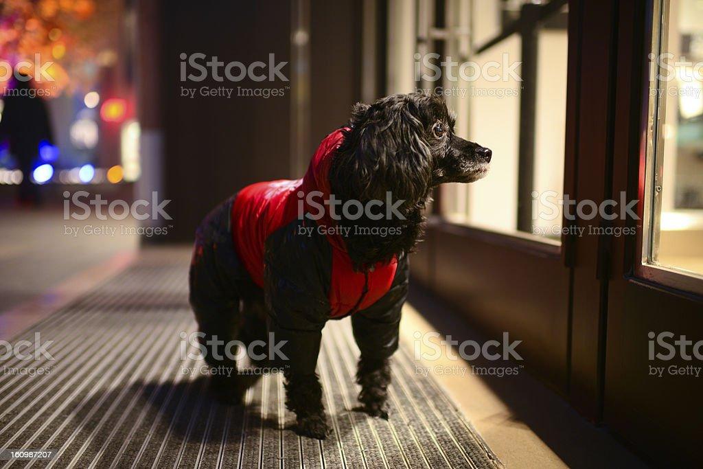 Red Clothing Dog royalty-free stock photo