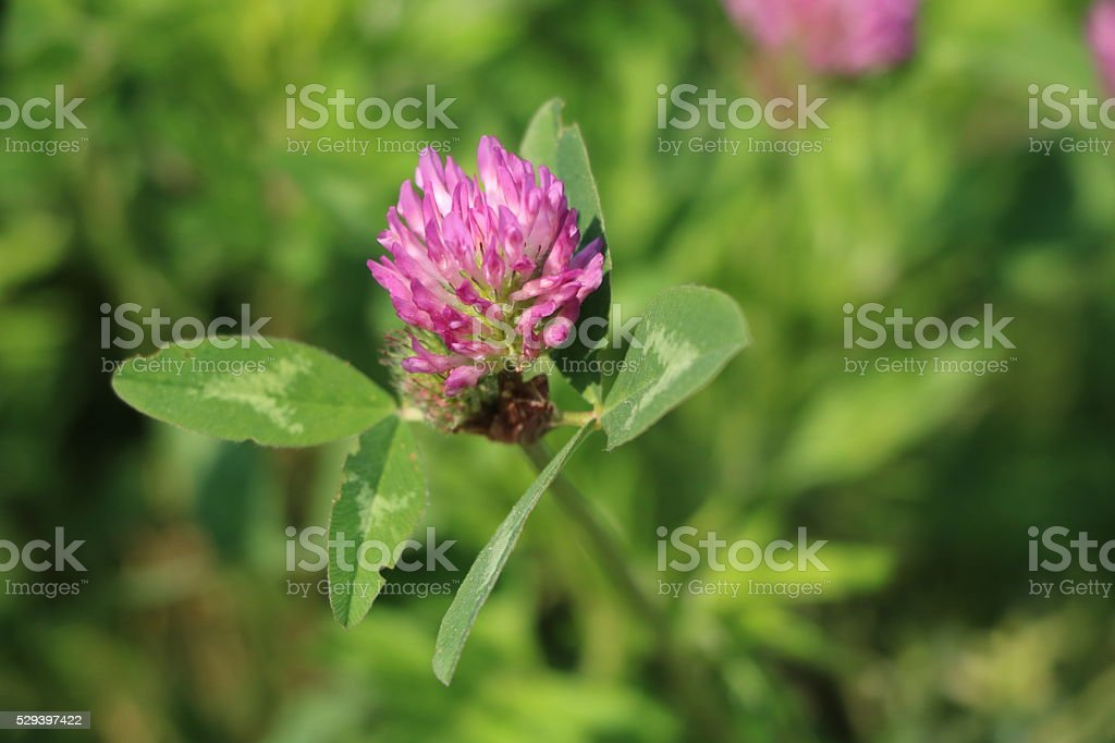 Red clover alfalfa in the meadow concentrated feed stock photo
