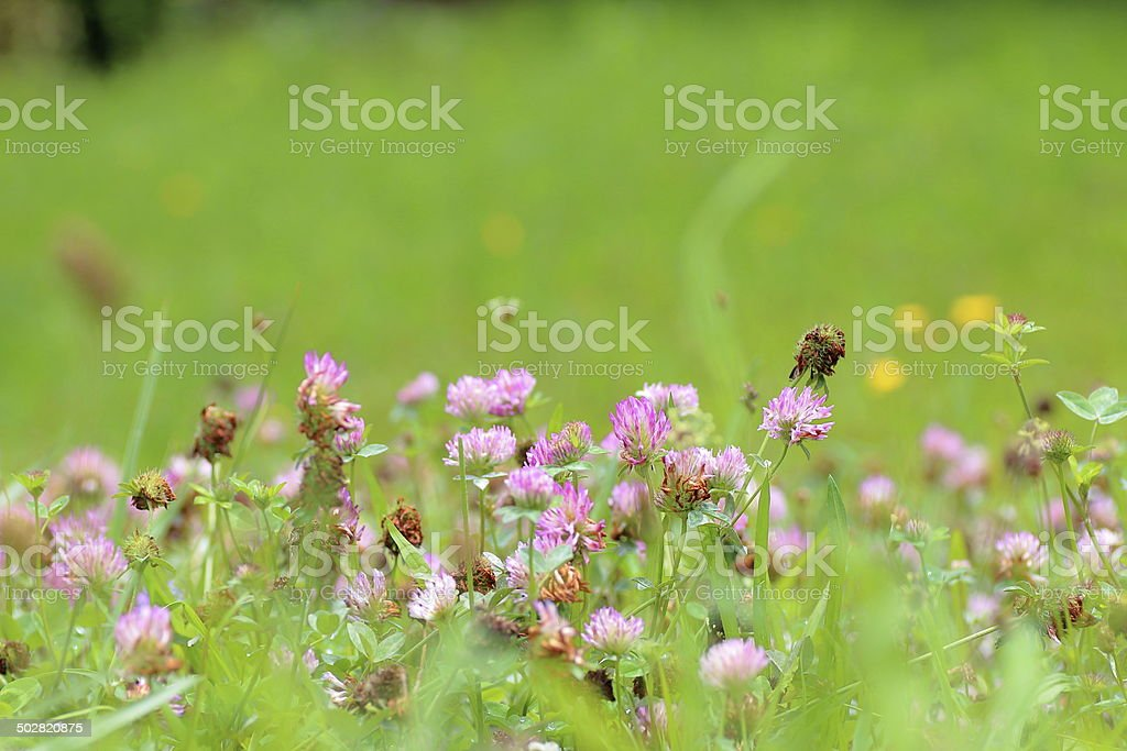 Red clover flower in grass stock photo