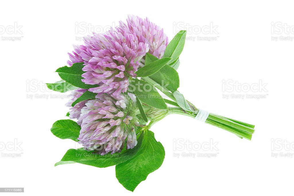 red clover  (trifolium pratense) isolated on white stock photo