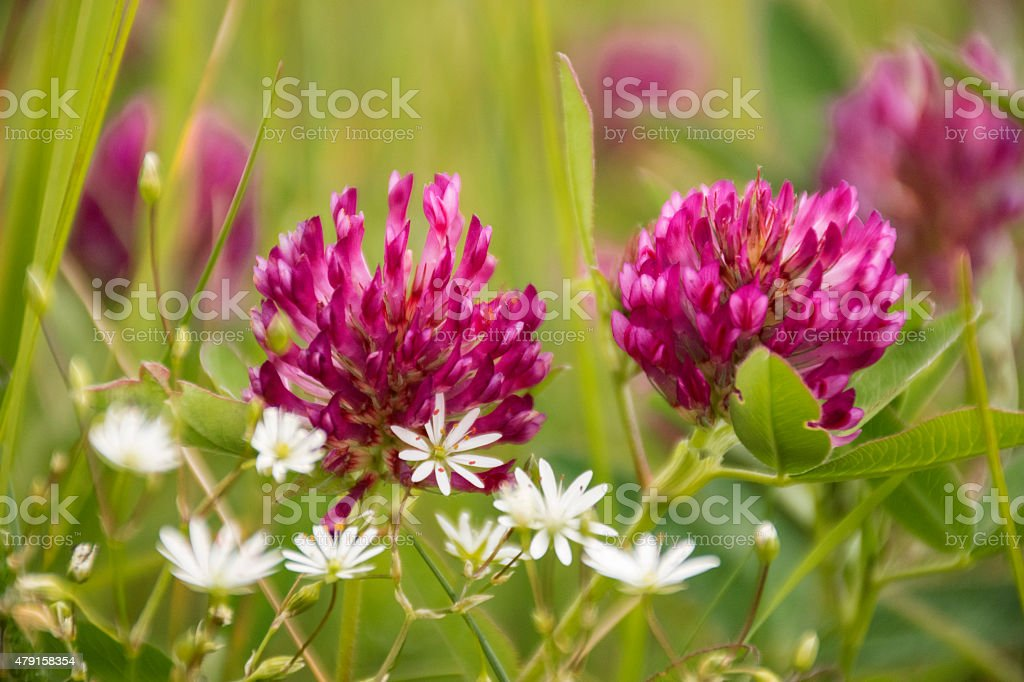 Red Clover or Trifolium Pratense stock photo