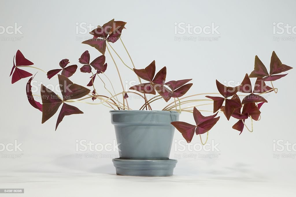 Red Clover, Oxalis triangularis stock photo