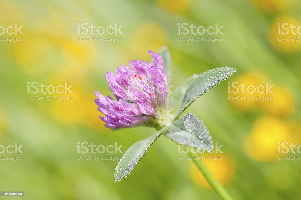 Red Clover (Trifolium pratense) stock photo