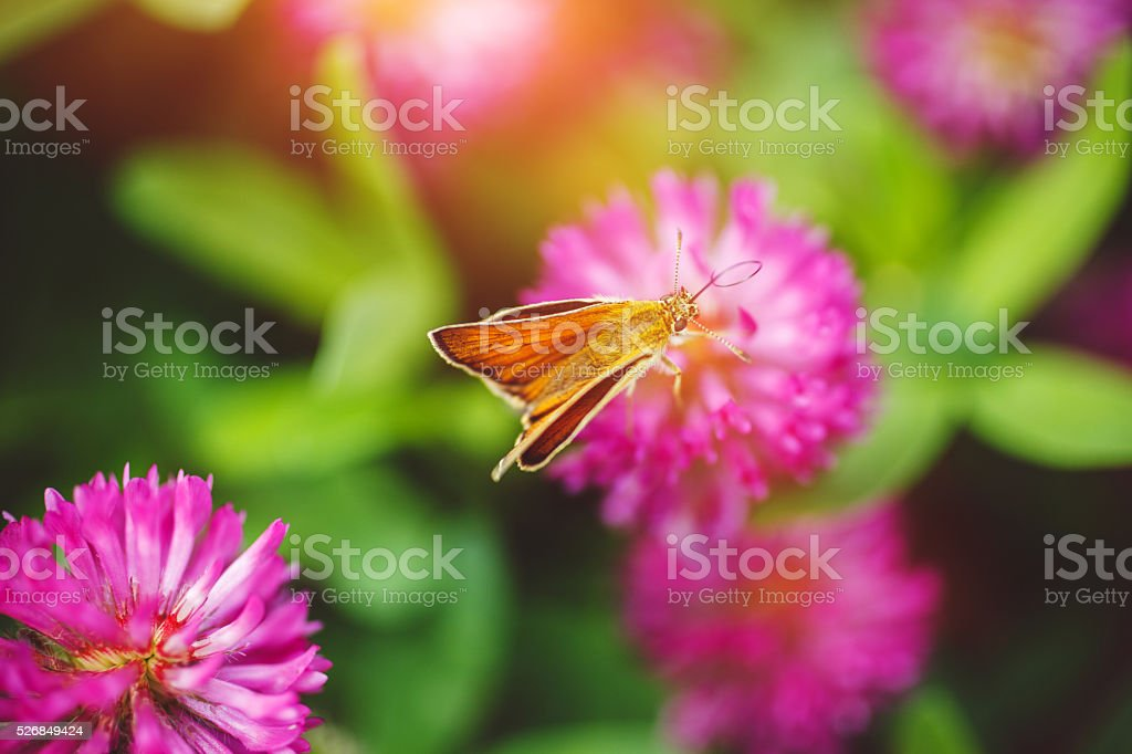 Red Clover stock photo