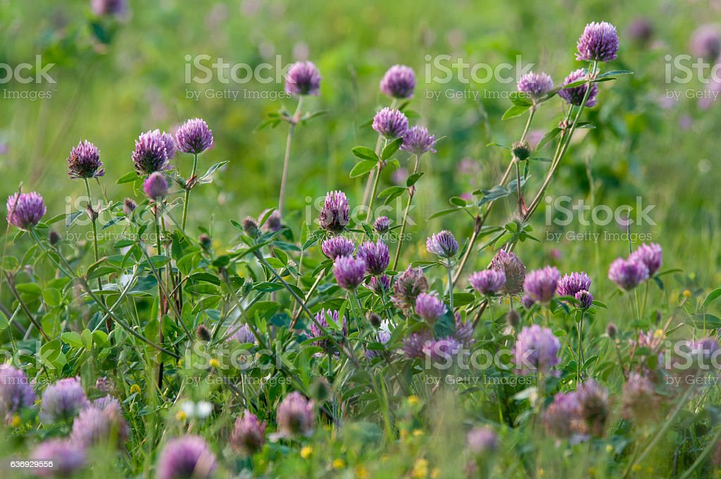 red clover (.Trifolium pratense) stock photo
