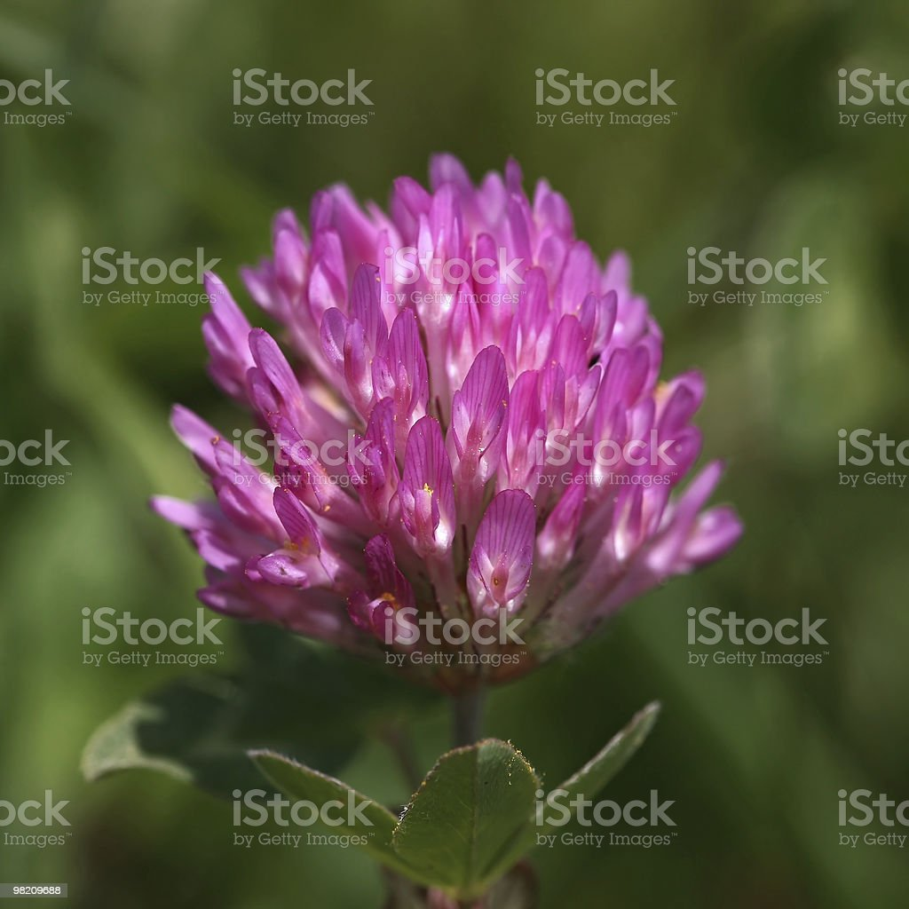 red clover (trifolium pratense) stock photo