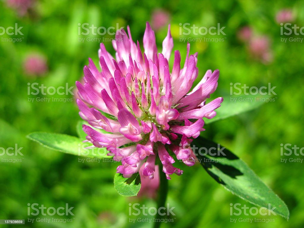 Red clover - Trifolium pratense stock photo