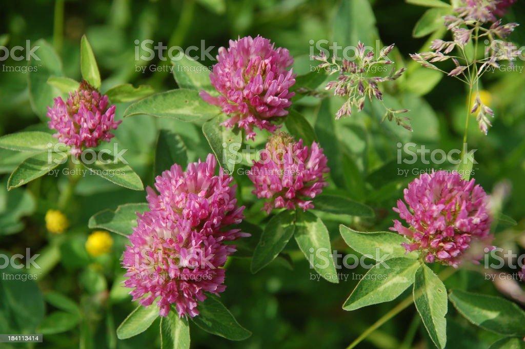 Red Clover - Trifolium pratense royalty-free stock photo