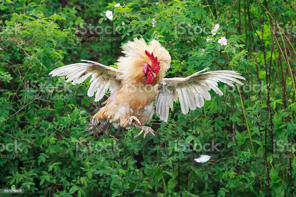 red cock jumped high and spread its feathers wings stock photo