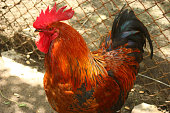 Red cock, naturaly grown in a bio farm.