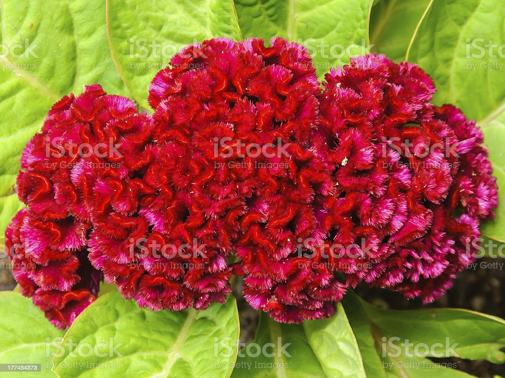 Red cockscomb flower close up royalty-free stock photo
