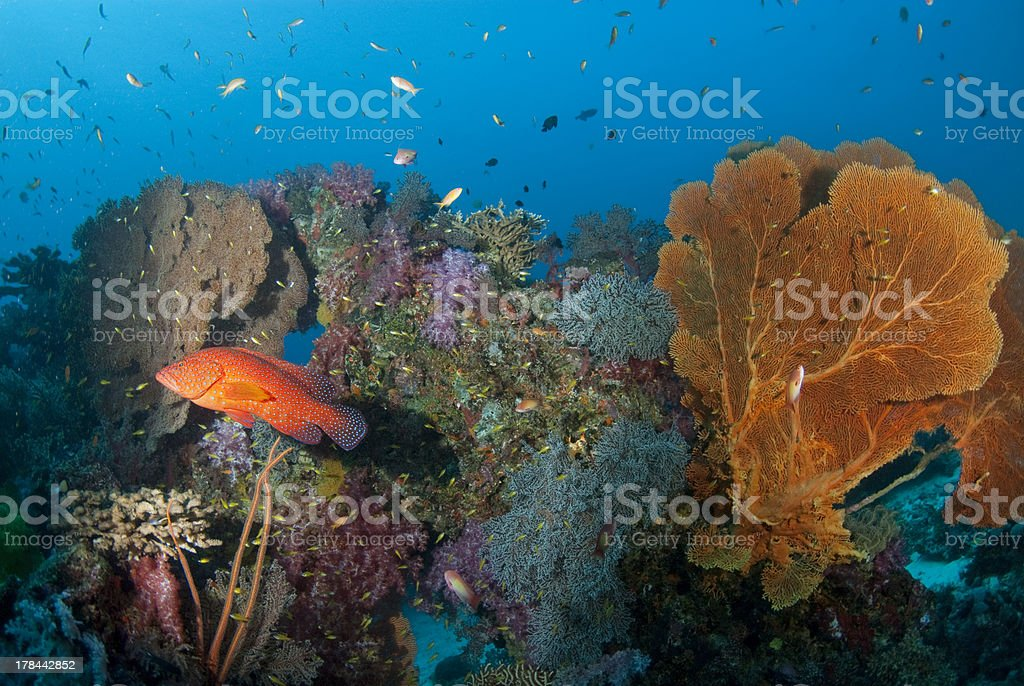 red cod and seafan, Thailand. royalty-free stock photo