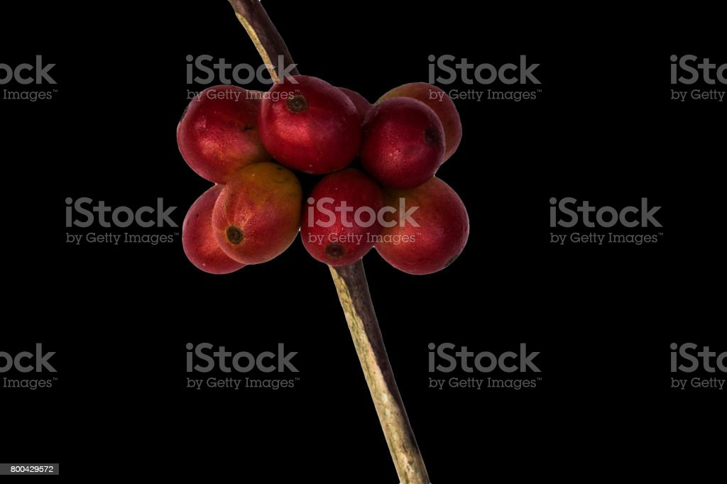 Red coffee beans on a branch of coffee tree, ripe and unripe berries isolated on black background stock photo