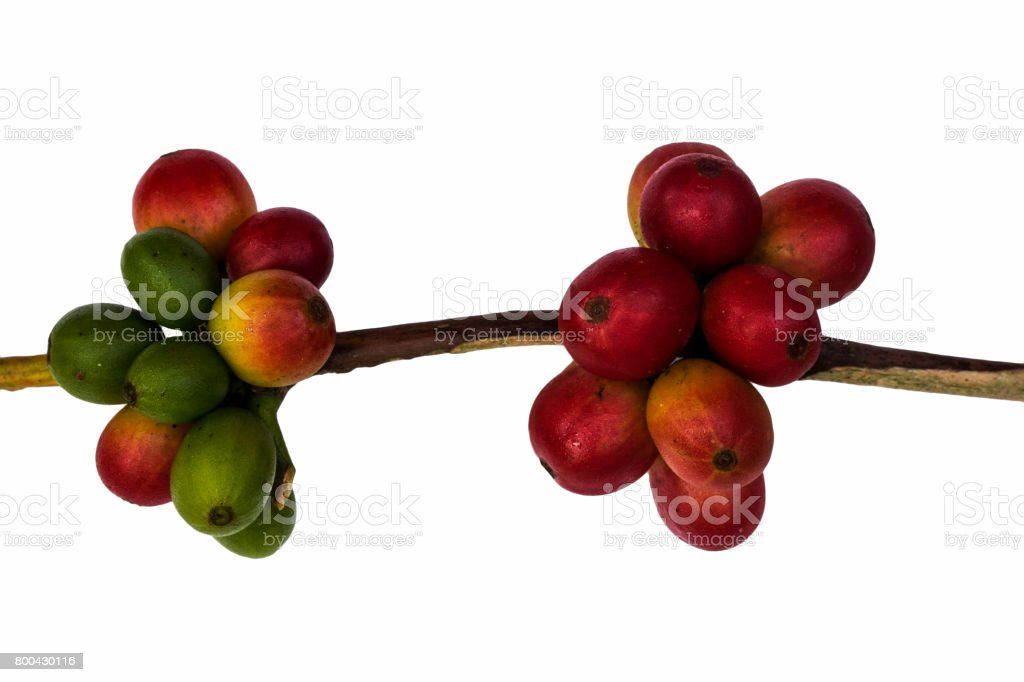 Red coffee beans on a branch of coffee tree, ripe and unripe berries isolated on white background stock photo