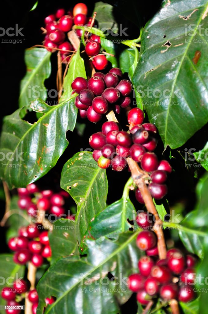 Red coffee beans stock photo