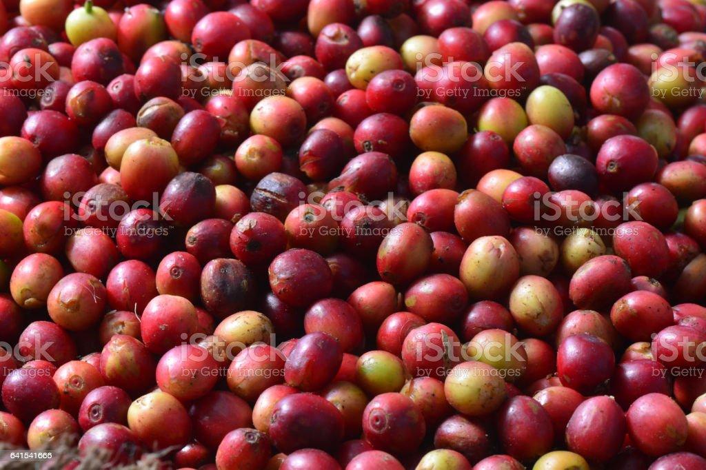 Red coffee cherry stock photo