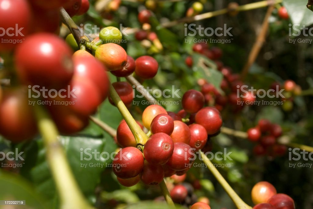 Red coffee fruit royalty-free stock photo