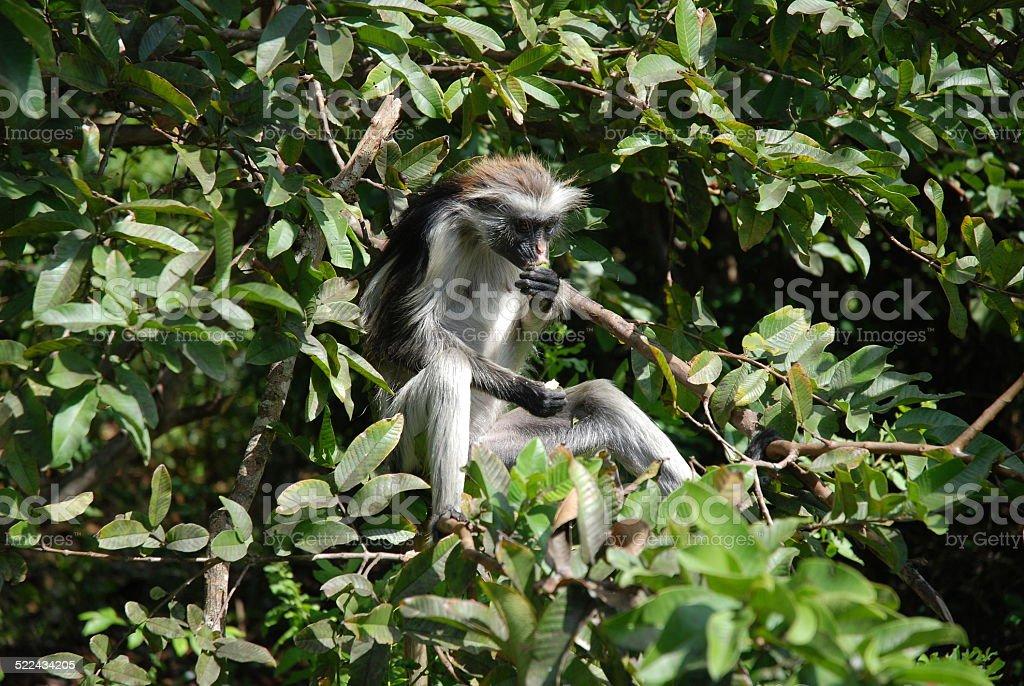 Red Colobus Monkey Eating royalty-free stock photo
