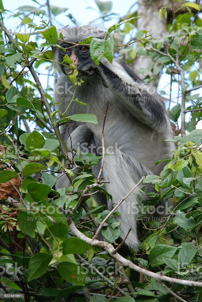 Red Colobus Monkey royalty-free stock photo