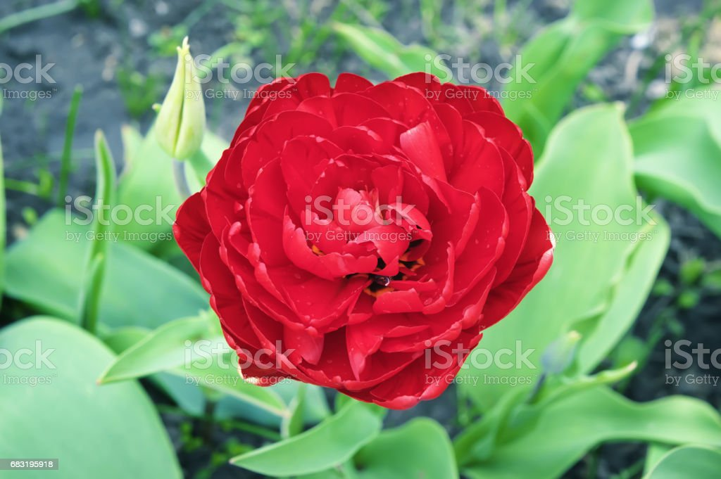 Red color double dutch early tulip. Flowering tulip stock photo