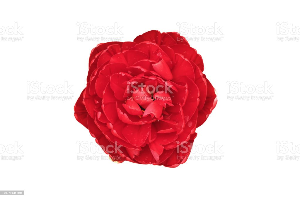 Red color double Dutch early tulip isolated stock photo